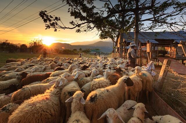 羊の群れの画像